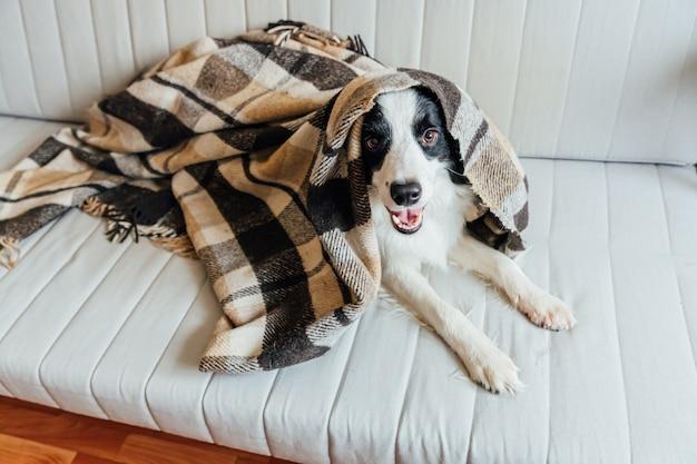 Cão de cachorrinho engraçado border collie que encontra-se no sofá sob a manta dentro. adorável membro da família cachorrinho em casa aquecendo sob o cobertor no frio outono outono inverno tempo. conceito de vida animal de estimação.