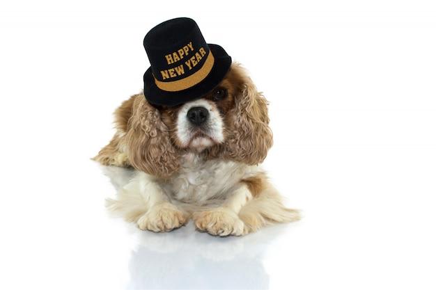 Cão de cavalier charles que comemora o ano novo com um preto do partido e o chapéu do ouro com texto. deitar-se para baixo, olhando para câmera gata de fundo branco.