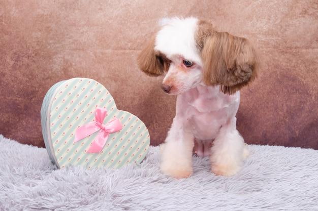 Cão de crista chinês com um presente em forma de coração