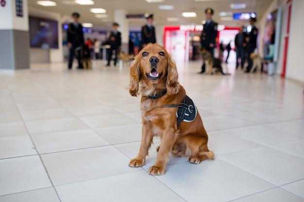 Cão de detecção de drogas no aeroporto à procura de drogas nas malas. vista horizontal