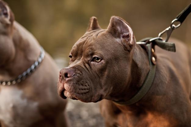 Cão de estimação american bully em locação na natureza