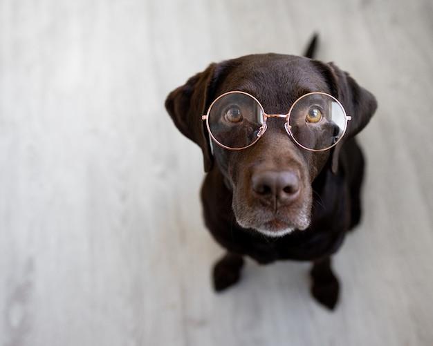 Cão de estimação retriever usando óculos de nariz redondo, labrador retriever de óculos, treinamento de cão inteligente, estudante, labrador chocolate ensina cão não obediente