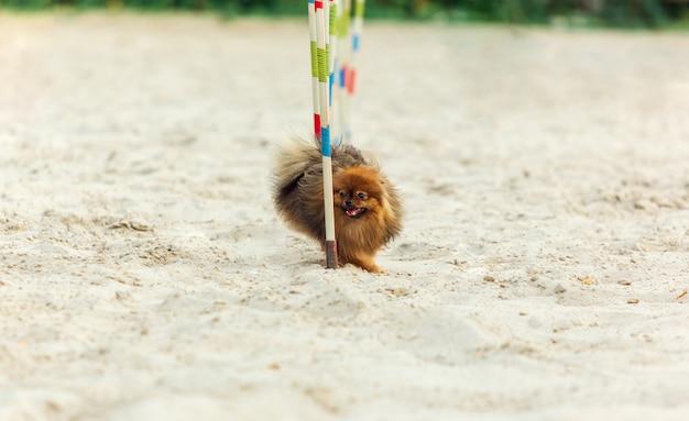 Cão de galês corgi que executa durante a mostra na competição.