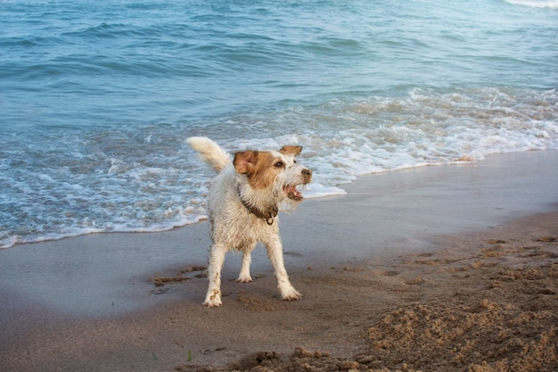 Cão de jack russell coberto com areia e jogar na costa do verão em férias de verão.