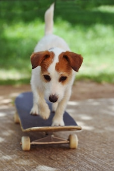 Cão de jack russell no skate que desgasta nas férias do verão.