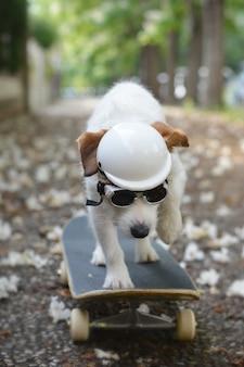 Cão de jack russell no skate que usa um capacete e os óculos de sol