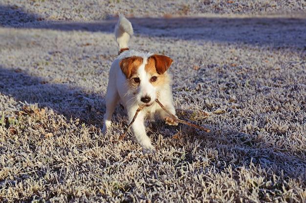 Cão de jack russell que anda sobre frostedgrass no inverno.