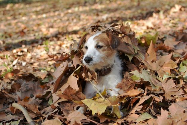 Cão de jack russell que joga com as folhas de outono coloridas