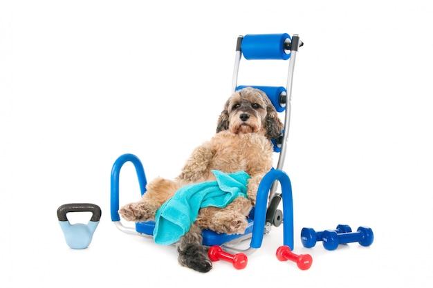 Cão de mestiços com toalha e equipamento desportivo, exausto após o treino. isolado no branco