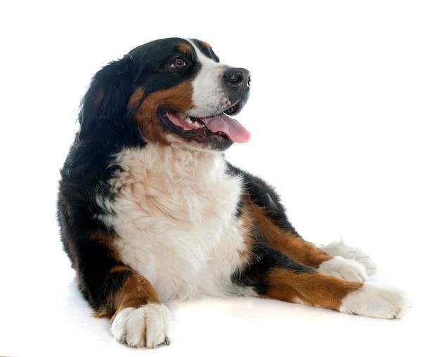Cão de montanha bernese