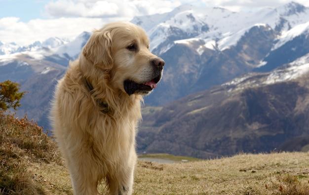 Cão de montanha dos pirinéus, fundo de neve