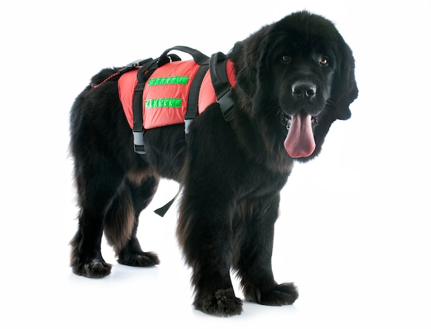 Cão de newfoundland do salvamento