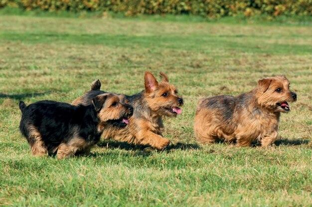 Cão de norfolk terrier