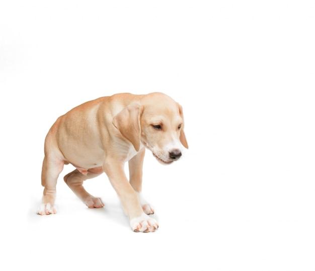 Cão de passeio loira de cabelos curtos