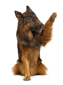 Cão de pastor alemão com sua pata isolada no branco