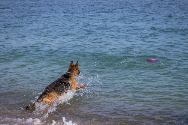 Cão de pastor alemão pulando no mar