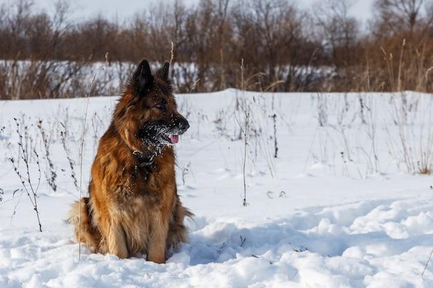 Cão de pastor alemão sentado na neve