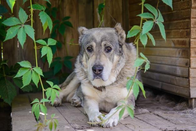 Cão de pastor da ásia central, deitado perto de sua casinha de madeira