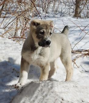 Cão de pastor da ásia central filhote de cachorro na neve