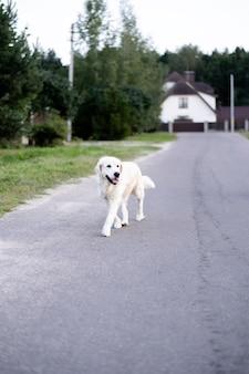 Cão de pedigree treinado anda sozinho na estrada nos subúrbios