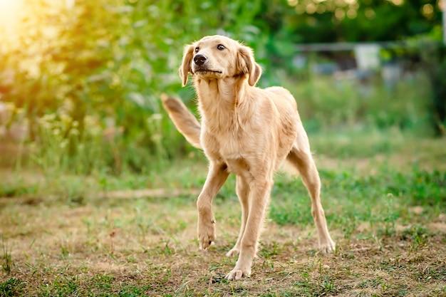 Cão de pêlo claro que vem com alegria