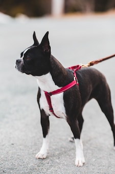 Cão de pêlo curto preto e branco com trela vermelha