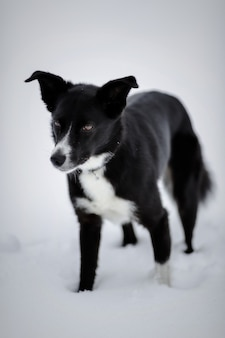 Cão de pêlo curto preto e branco