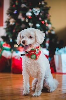 Cão de pêlo longo branco em superfície de madeira com colal vermelho e verde