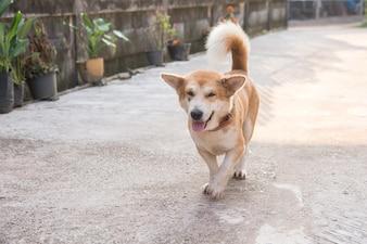 Cão de perna curta bonito andando na estrada de concreta