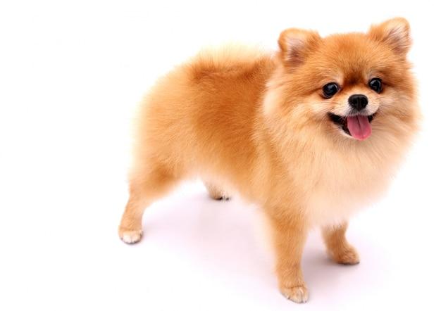 Cão de pomeranian em um fundo branco.