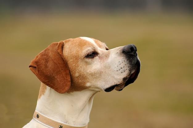 Cão de ponteiro de pêlo curto alemão