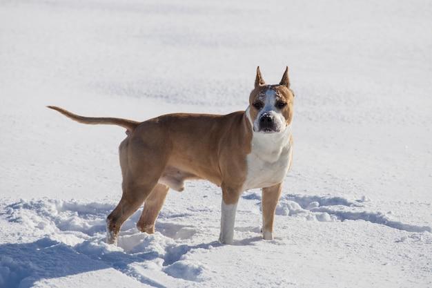 Cão de raça american staffordshire terrier caminha na neve no inverno. foto de alta qualidade