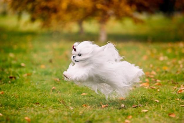 Cão de raça branca cãozinho maltês na floresta de outono