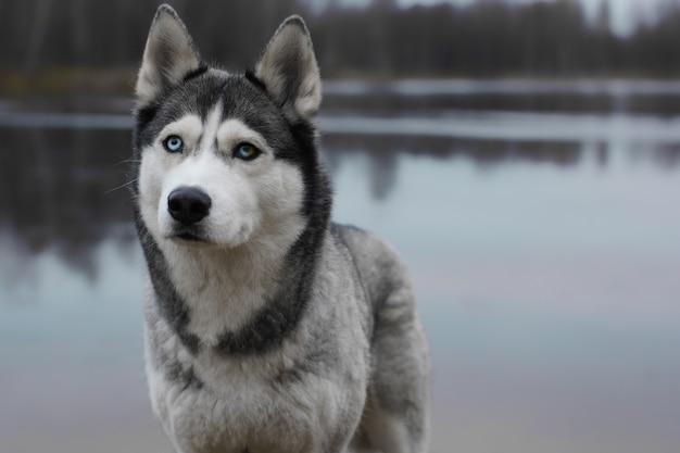 Cão de raça cinza husky com cor de olhos diferente fica na margem do lago de outono.