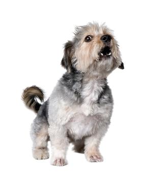Cão de raça cruzada latindo, 4 anos de idade. retrato de cachorro isolado