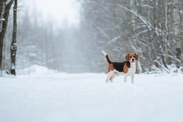 Cão de raça de beagle americano parado na floresta de inverno