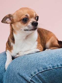 Cão de raça doméstica, sentado no colo do proprietário