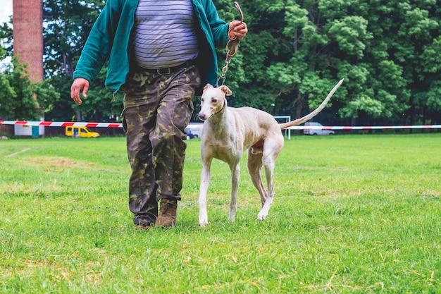 Cão de raça galgo enquanto caminha com seu mestre