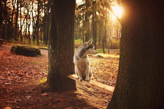 Cão de raça husky sentado num banco entre as árvores.
