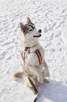 Cão de raça husky siberiano executa os comandos, sentado sobre as patas traseiras.