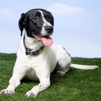 Cão de raça misturada entre um beagle e um labrador na grama contra um céu azul