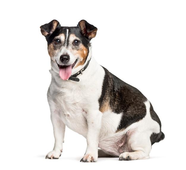 Cão de raça misturada, sentado contra o fundo branco