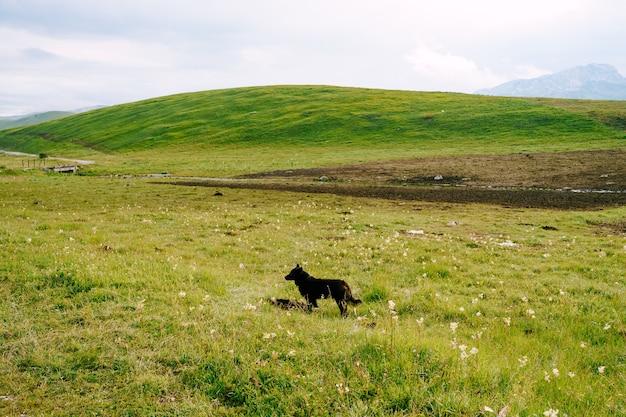 Cão de raça negra de pastoreio parado na grama perto da colina