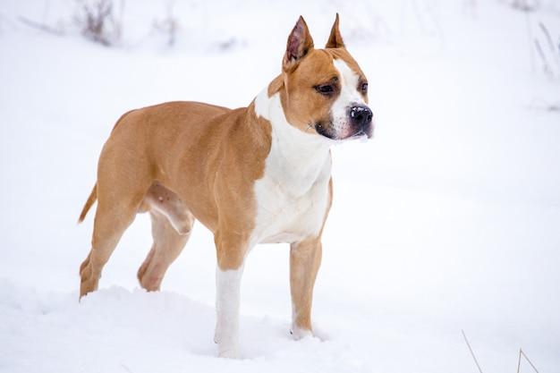 Cão de raça pit bull terrier na natureza no inverno. foto de alta qualidade