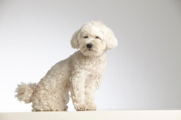 Cão de raça pura poodle miniatura