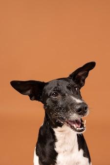 Cão de raça pura sendo adorável em um estúdio
