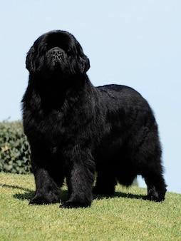 Cão de raça pura terra nova