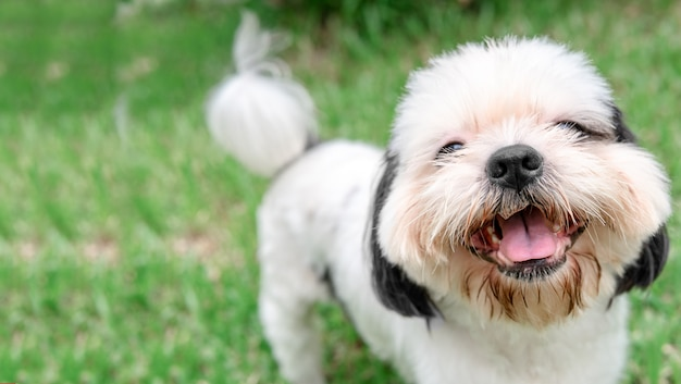 Cão de raça shih-tzu pele marrom que está no jardim de grama.