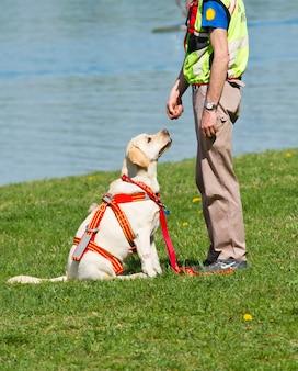Cão de resgate labrador