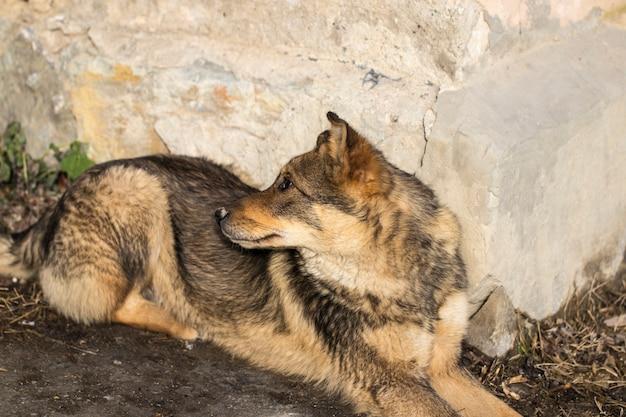 Cão de rua sujo descansando perto de uma parede cinza.